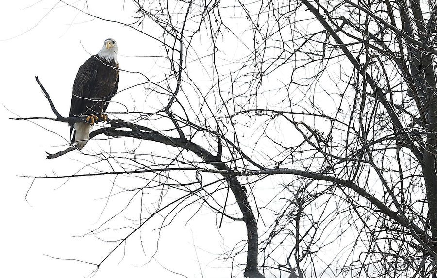 Against All Odds Wildlife Experts Have Helped New Jersey S Bald Eagles Rebound From A Single Pair To Thriving Potion
